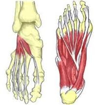 footanatomy