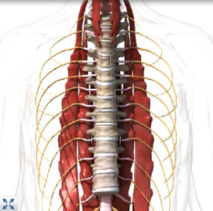 thoracic_spine